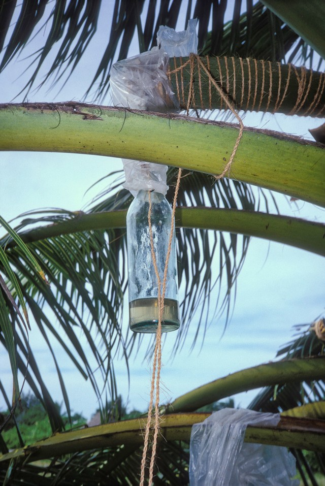 Collecting palm sap to make wine
