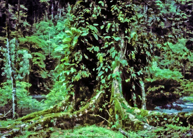 Rio Pacuare, buttressed ceiba tree at campsite, 1983
