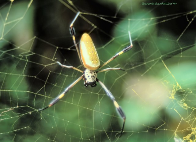 PacuareSpider#32'90TD