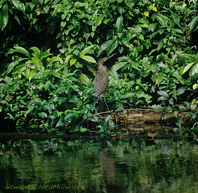 A Rufescent Tiger Heron (I believe)
