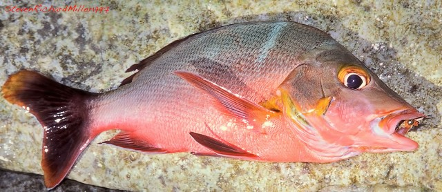 Colorful snapper