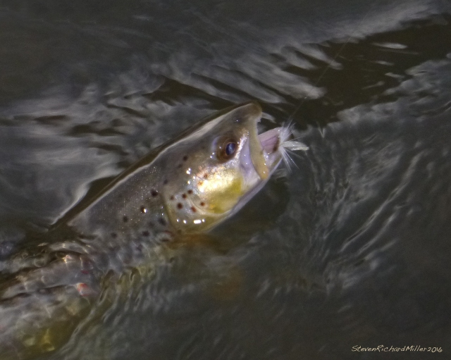 Brown trout, caught on a white mayfly imitation