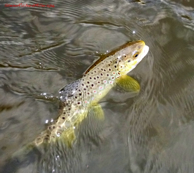 Brown trout, caught on a #18 cream Comparadun. As the light faded, I landed this fish and lost two others.