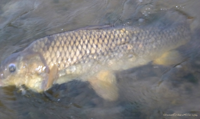 Not a greatb photo of the carp, but the best I could manage with one hand on the rod and the other holding my camera.