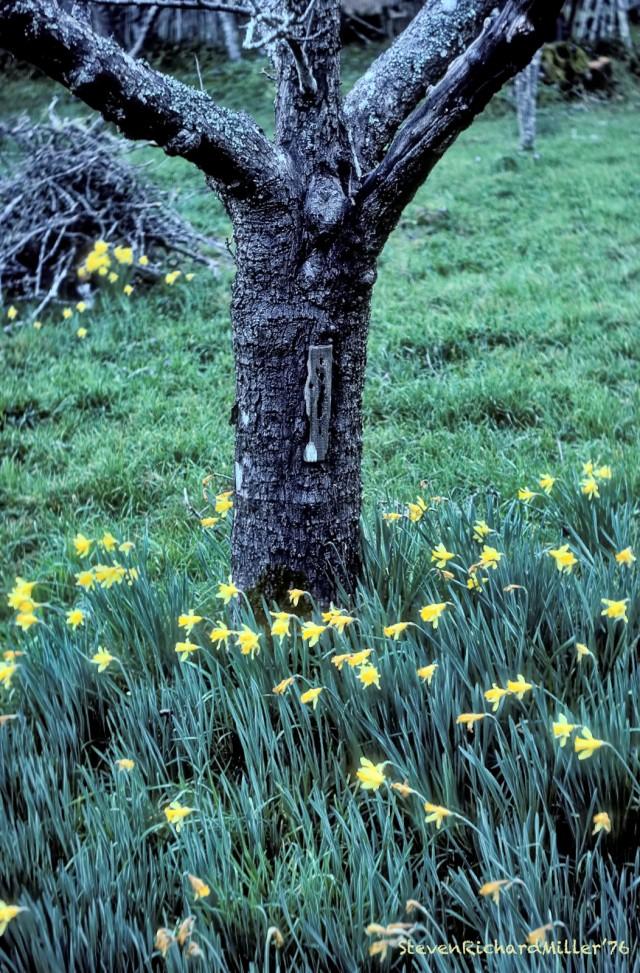 Daffodils#10'76TD