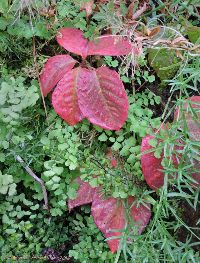 Poison ivy, fall colors