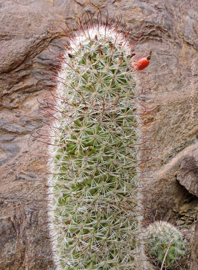 Fishhook cactus, Bass Camp