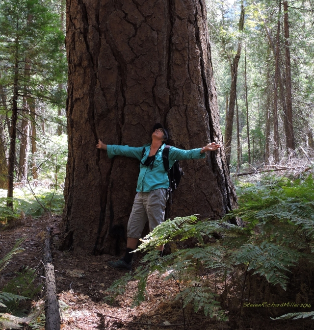 Kathy loves the big trees of the Sierras. This is probably a ponderosa pine.