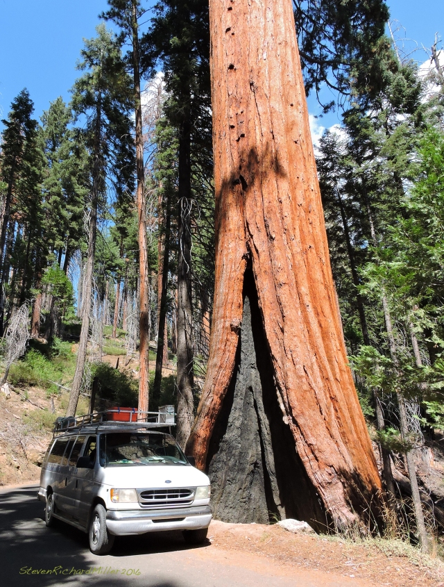 Since it's very difficult to show the size of a sequoia in a photo, I've included the here the van, to provide scale