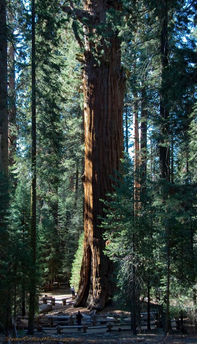 General Sherman Tree, 2007