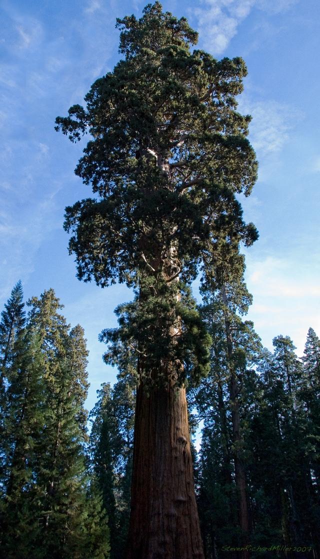 Sequoia, 2007
