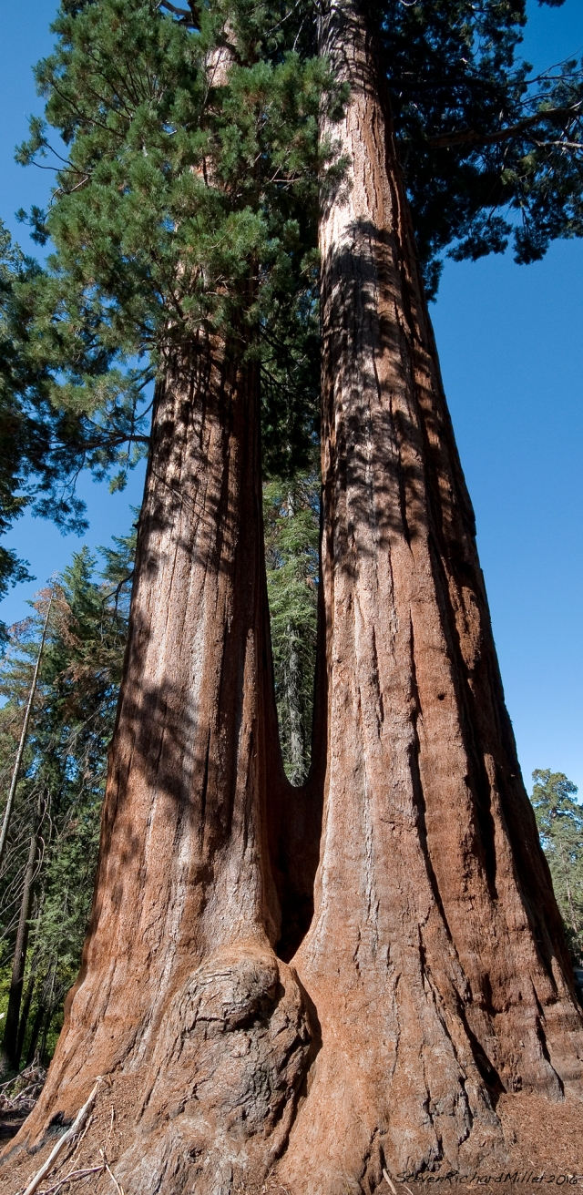 Twin-trunked sequoia