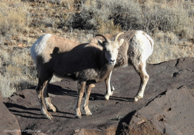 Ewe and youngster