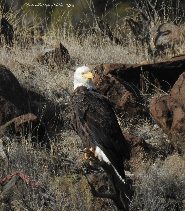 Bald eagle, across the river from the Rio Bravo campground, Rio Grande del Norte National Monument