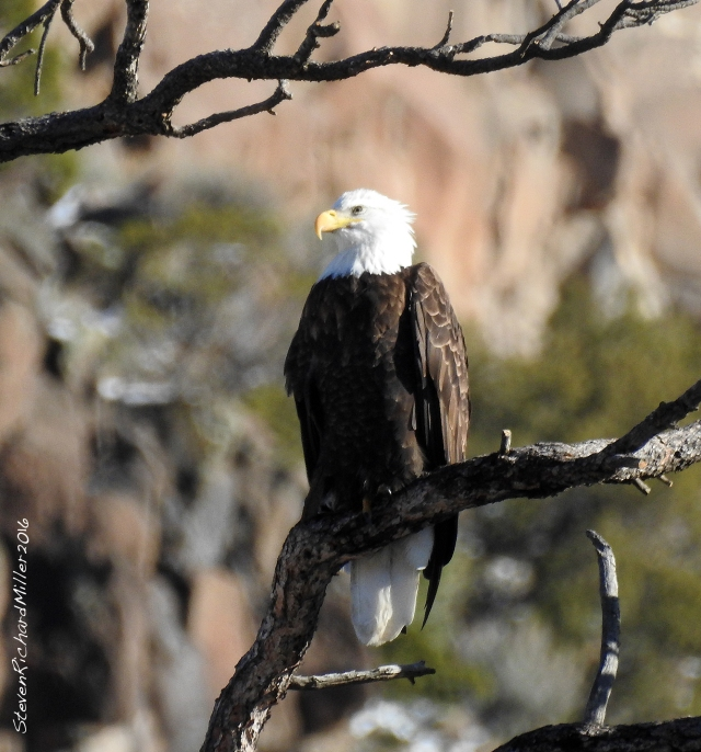 Bald eagle in a ponderosa pine, in the Orilla Verde Recreation Area of the Rio Grande del Norte National Monument