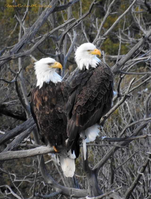 Bald eagle pair, in a favored perch in a juniper snag, along the Racecourse run of the Rio Grande, near Pilar, NM
