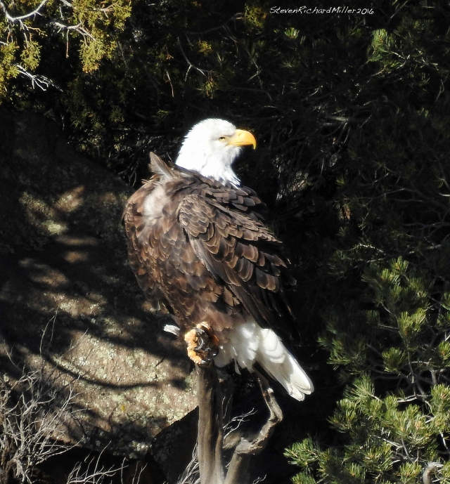 This eagle occupies a favorite perch, on a hillside across the river from the Rio Bravo campground, in the Orilla Verde section of the Rio Grande del Norte National Monument