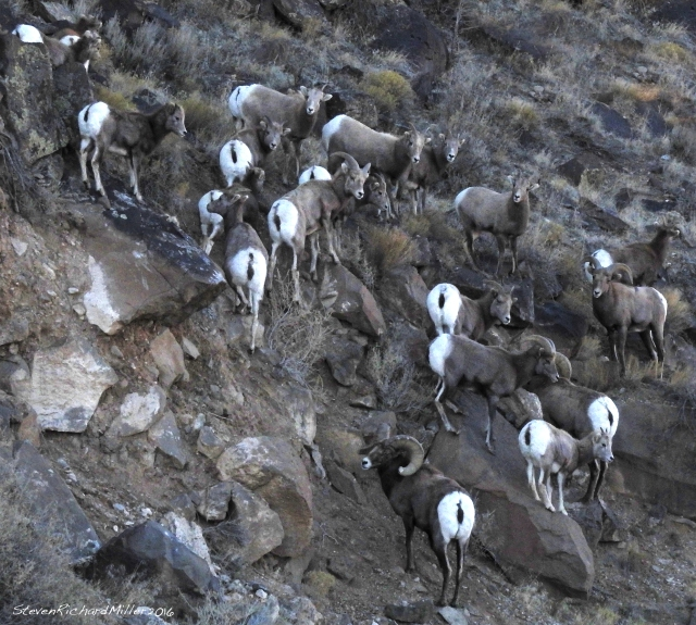 The conspicuous white rumps of Bighorn sheep