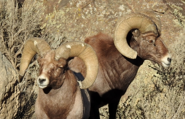 Two Bighorn rams. Both have tips of their horns broken off, while the horns of the ram on the left shows marks from head-butting. Head-butting occurs in the fall mating season, as males compete to see who will get to breed, and who will not.