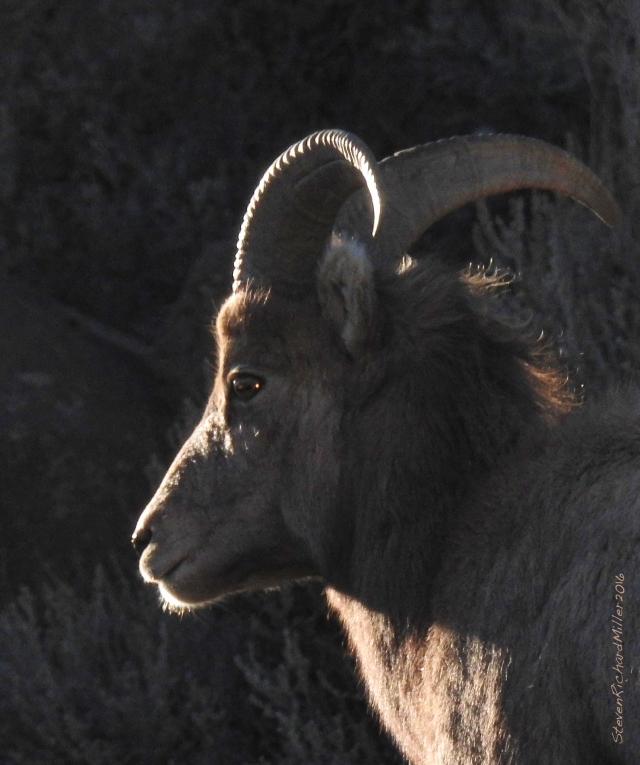 Young ram side-lit in the evening sun