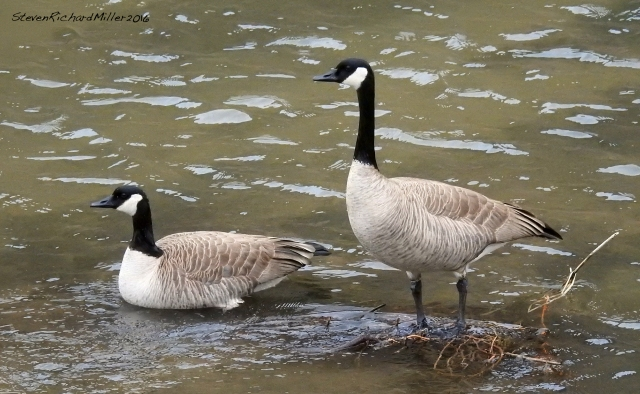 Canada geese, in the Orilla Verde section of the Rio Grande del Norte National Monument