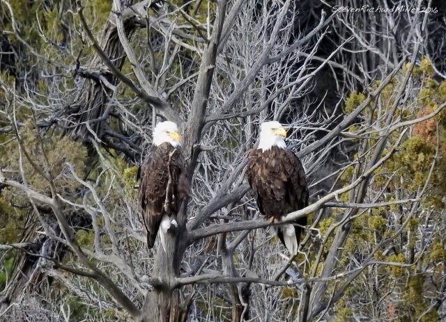 This bald eagle pair is on a favorite perch, where they enjoy watching the considerable traffic on NM 68. Racecourse run on the Rio Grande, near Pilar, NM