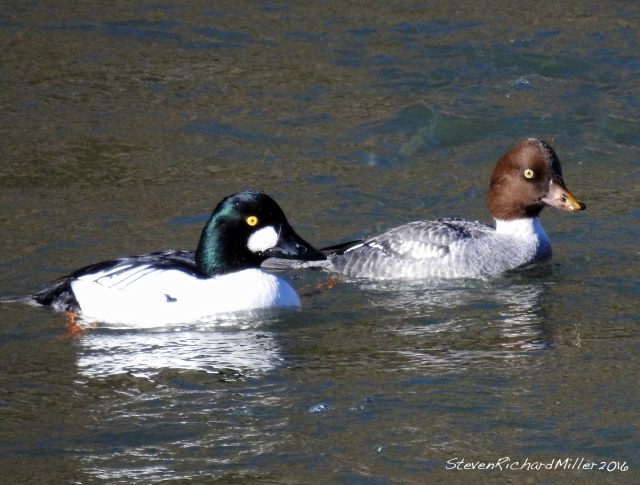 Goldeneye pair, in Orilla Verde