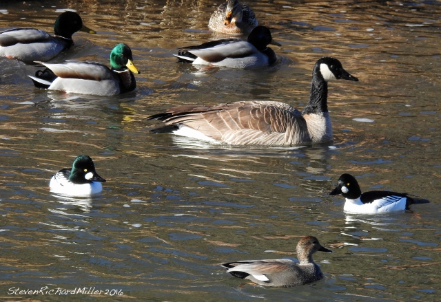 Waterfowl medley, with gadwall, goldeneyes, mallards and canada geese. The latter two are year-round residents