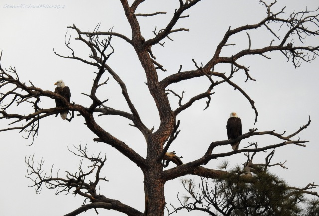 Bald eagle pair in ponderosa pine, Orilla Verde, 1-26-17