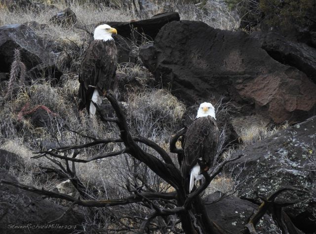Bald eagle pair, across from thew Rio Bravo campground