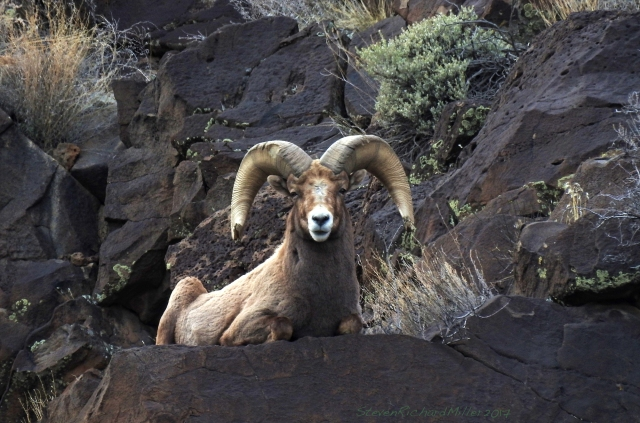 Bighorn fram I've photographed before, recognizable by the battered ends of his horns