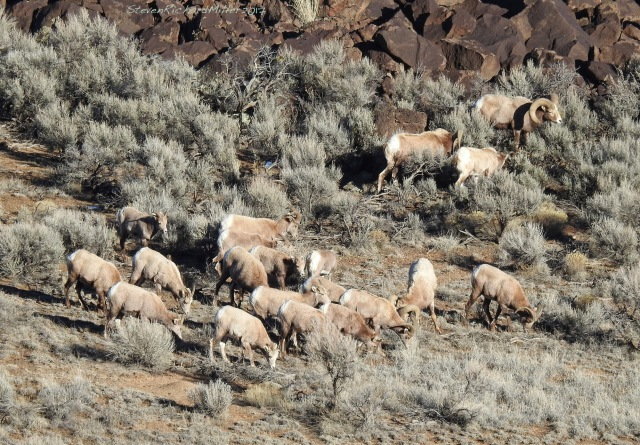 Bighorn sheep, with the ram I named