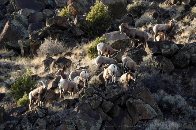 Bighorns on the far slope, above the river