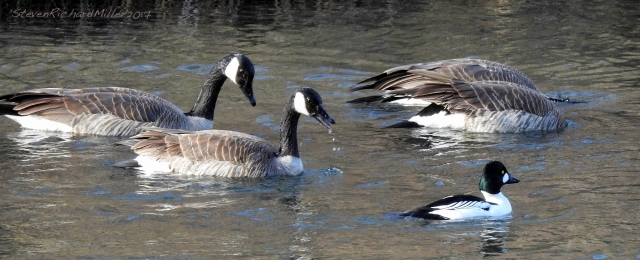 Canada geese and goldeneye male