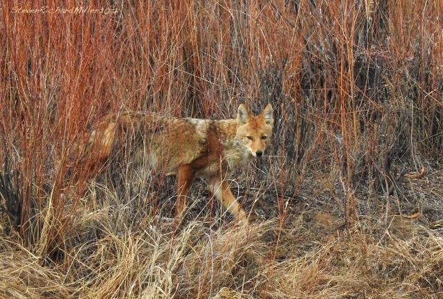 coyoteov-dscn7347-edit