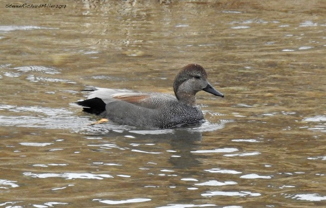 Gadwall, 1-9-17. Note the beautiful patterning of the breast feathers