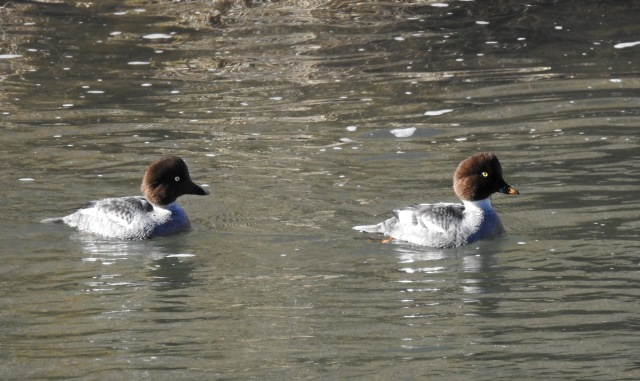 Female goldeneyes