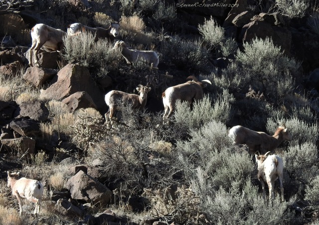 Bighorn herd on the east side of the gorge