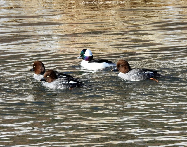 Bufflehead male with Goldeneye females