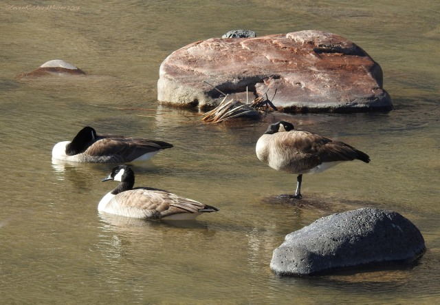 Canada geese, Orilla Verde Recreation Area