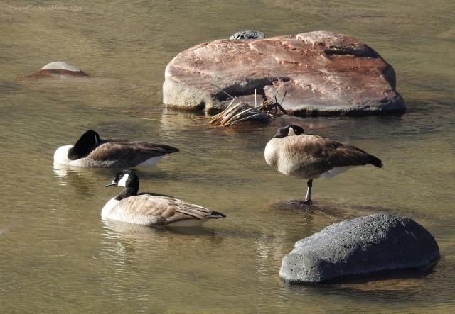 Canada geese, Orilla Verde Recreation Area