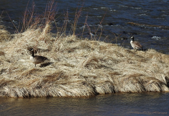 Canada goose pair taking up residence on  an island in the Rio Grande