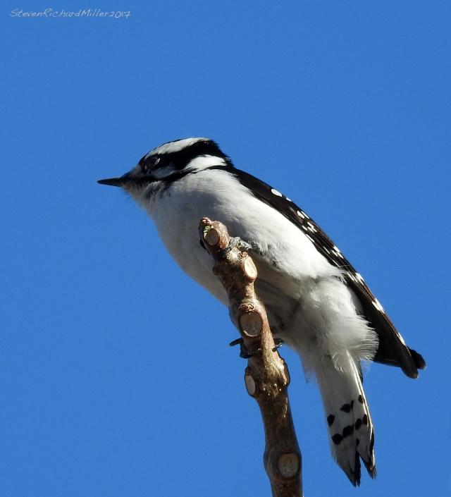 Downy woodpecker, Embudo