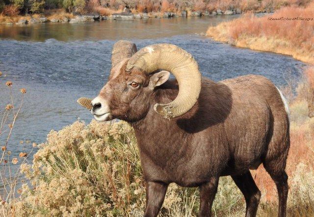 BighornRamDSCN1434