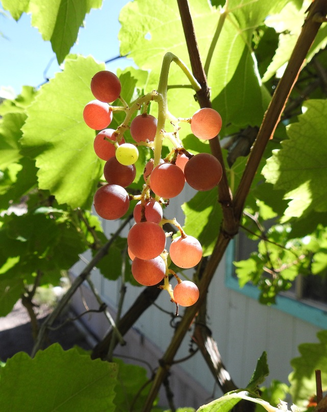 GrapesDSCN3181