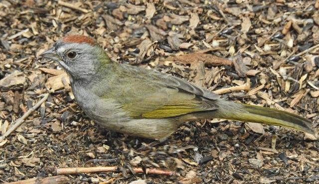 Green-tailedTowheeDSCN3435