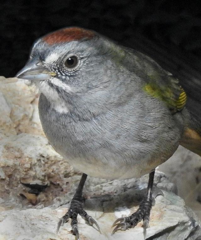 Green-tailedTowheeDSCN3449