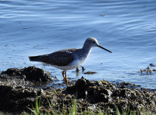 GreaterYellowlegs?AlamedaDSCN3836