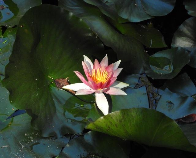 LotusUCBotanicDSCN3710