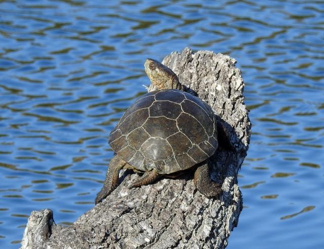TurtleJalamaDSCN3688